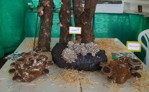 Entre cogumelos e palmitos