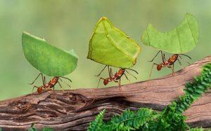 Formigas cortadeiras: praga que dizimou lavouras chega à cidade